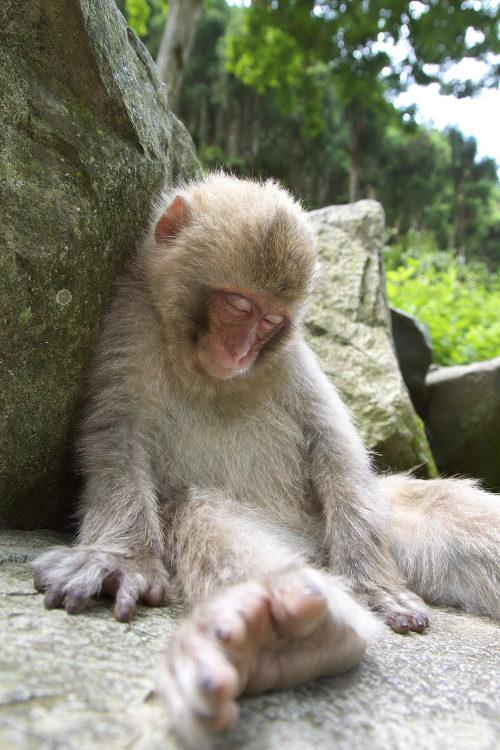 寝ている猿